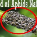 how get rid of aphids
