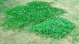 How To Get Rid Of Clover