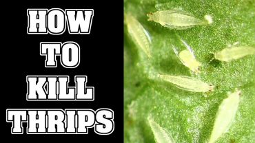 How To Get Rid Of Thrips