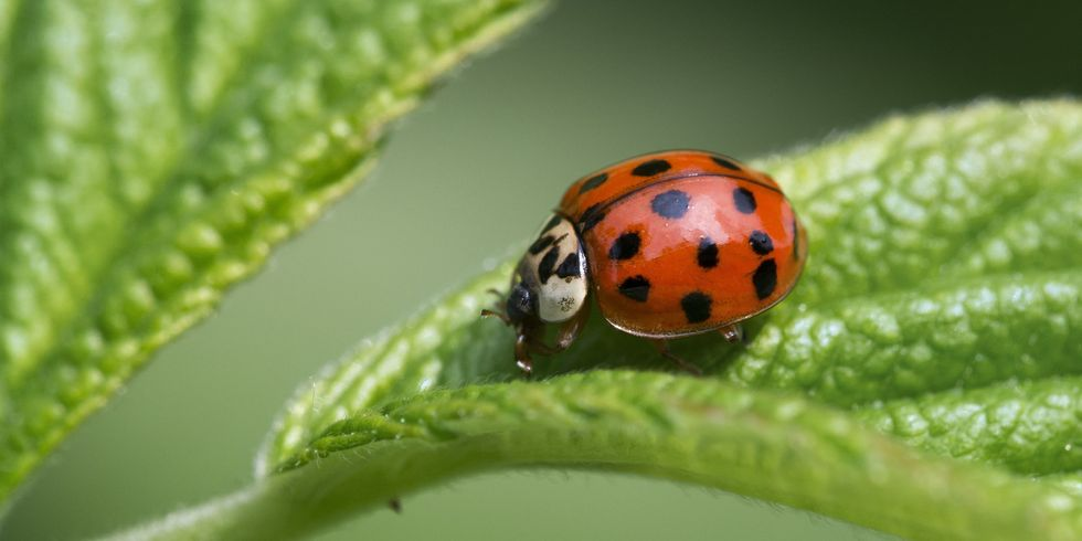 How to Get Rid of Asian Lady Beetles