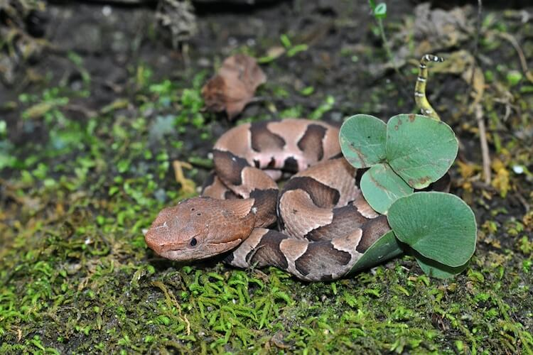 How to Get Rid of Copperheads Naturally in Your Yard