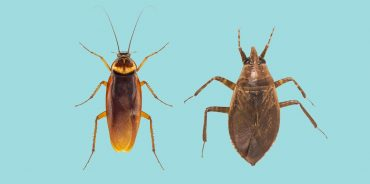 Cockroaches vs Water Bugs – What's the difference