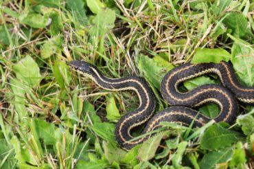 How To Get Rid Of Garter Snakes Naturally