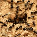 How to Get Rid of Army Ants Naturally