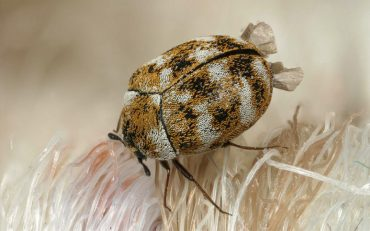 How to Get Rid of Carpet Beetles Naturally