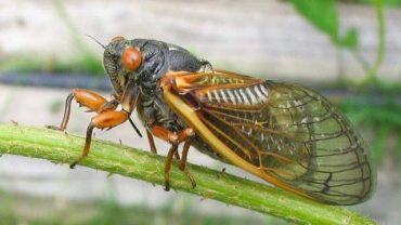 How to Get Rid of Cicadas