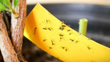 How to Get Rid of Fungus Gnats Naturally
