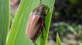 How to Get Rid of June Bugs at Night