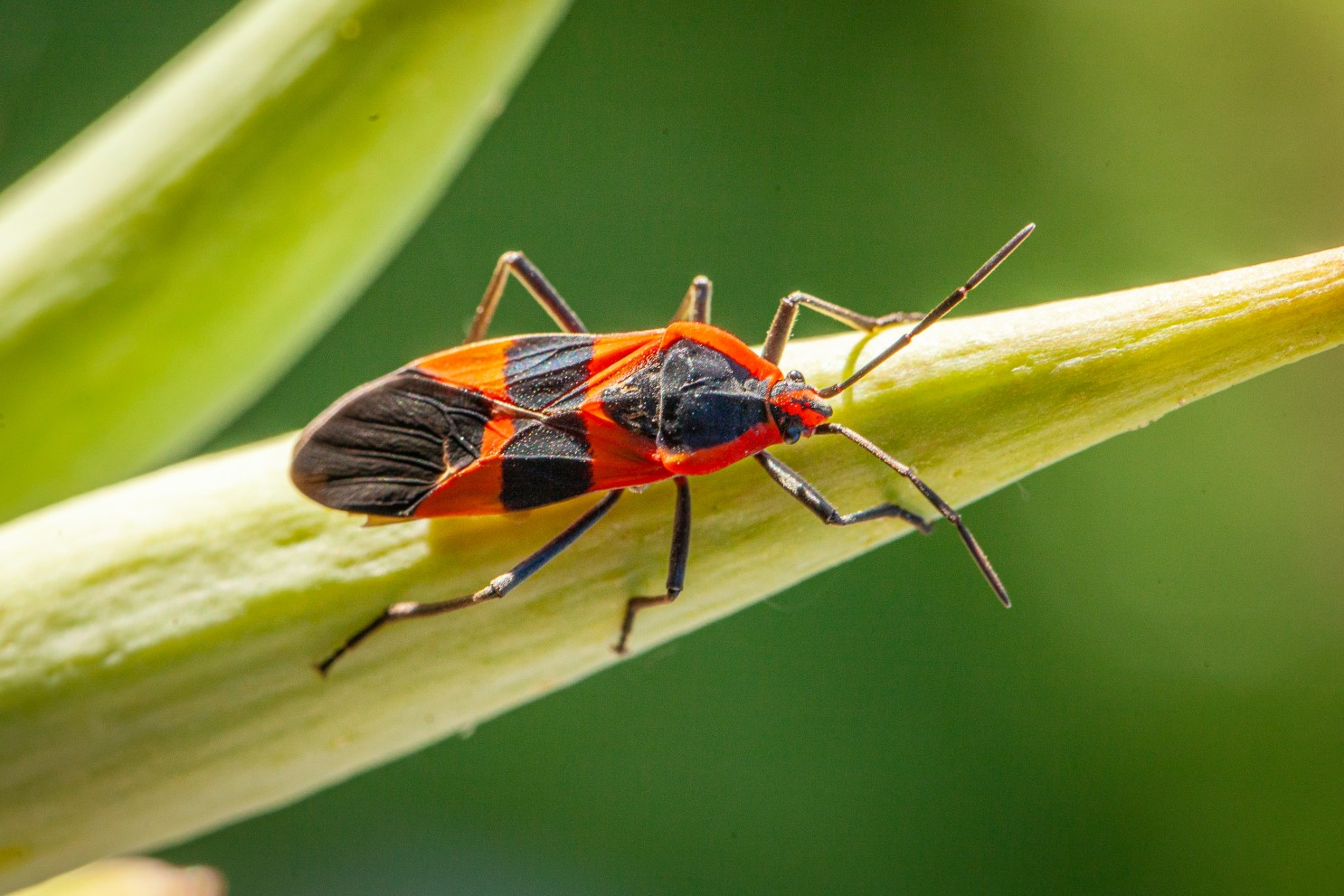 How to Get Rid of Milkweed Bugs Naturally