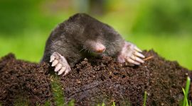 How to Get Rid of Moles Naturally in Your Yard