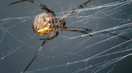 Does Peppermint Oil Repel Spiders?