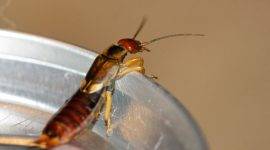 How to Get Rid of Earwigs in Your House Naturally