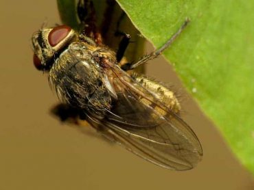 How to Get Rid of Cluster Flies Naturally