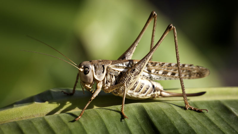 How to Get Rid of Grasshoppers in your home Naturally