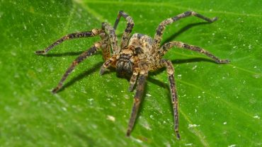 How to Get Rid of Wolf Spiders Naturally