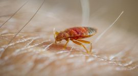 How Long Can Bed Bugs Live Without a Host