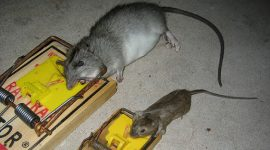 How To Bait A Rat Trap?