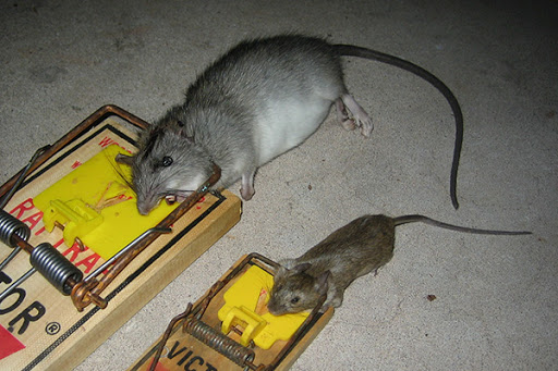 How To Bait A Rat Trap
