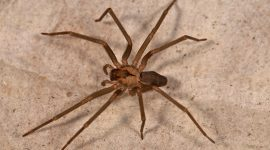 How To Get Rid Of Brown Recluse