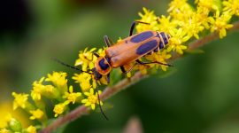 How to Keep Soldier Beetles Away From your House