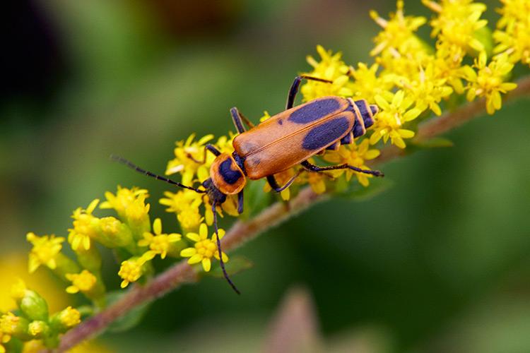 https://www.getridofallthings.com/wp-content/uploads/2020/08/How-To-Get-Rid-Of-Soldier-Beetles-2020.jpg