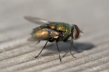 How to Get Rid of Blow Flies Naturally