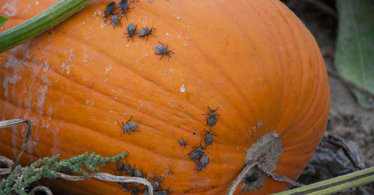 How to Get Rid of Bugs on Cantaloupe Naturally