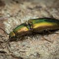 How to Get Rid of Click Beetles Naturally