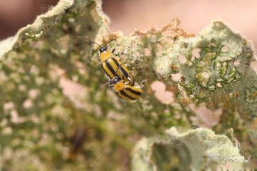 How to Get Rid of Cucumber Beetles Naturally