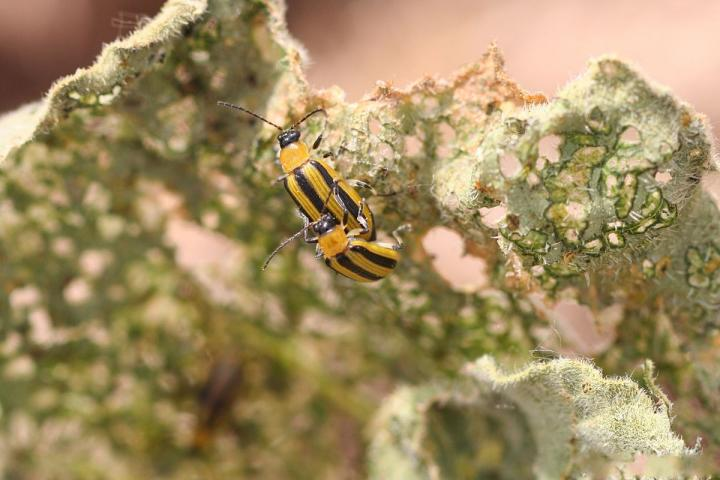 How to Get Rid of Cucumber Beetles