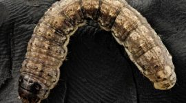 How to Get Rid of Cutworms Naturally