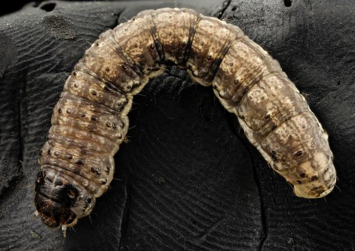 How to Get Rid of Cutworms