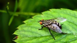 How to Get Rid of Flesh Flies Naturally
