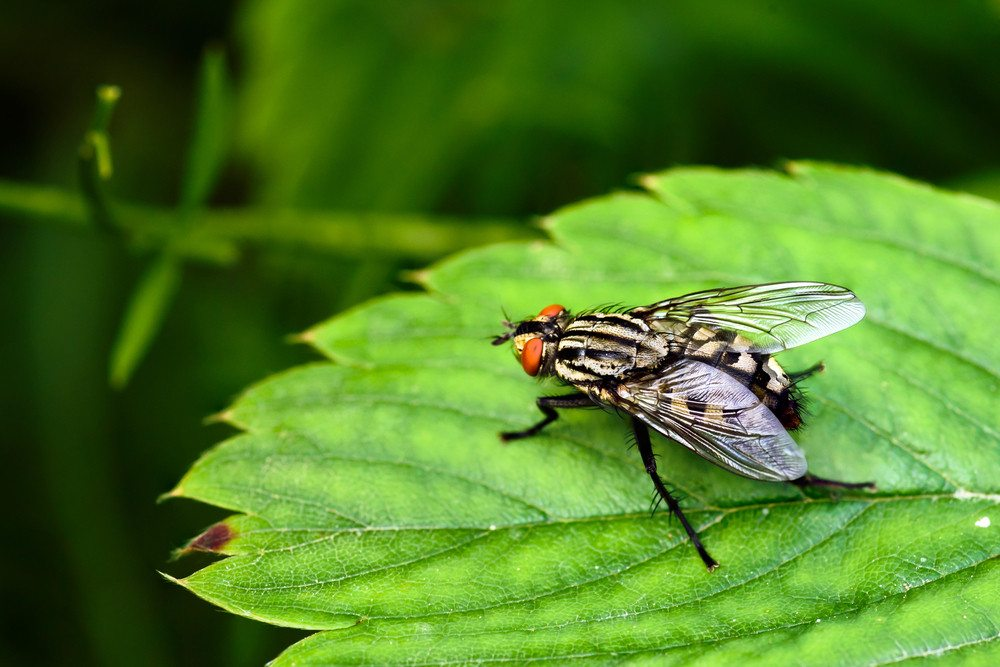 How to Get Rid of Flesh Flies