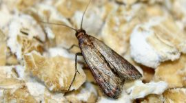 How to Get Rid of Indian Meal Moths Naturally
