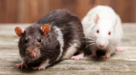 How to Get Rid of Rats Without Poison?
