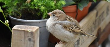 How to Get Rid of Sparrows Naturally