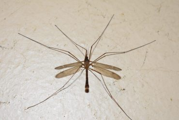 How to Get rid of Crane Flies in Your Lawn