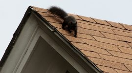 How to Trap Squirrels in Attic