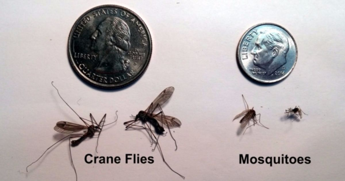 https://www.getridofallthings.com/wp-content/uploads/2020/08/Mosquito-Vs-Crane-Fly.jpg