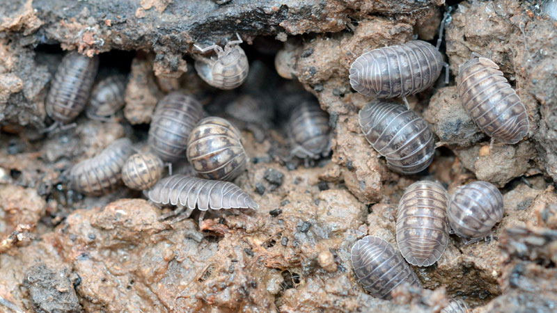 How to Get Rd of Pill Bugs in Garden