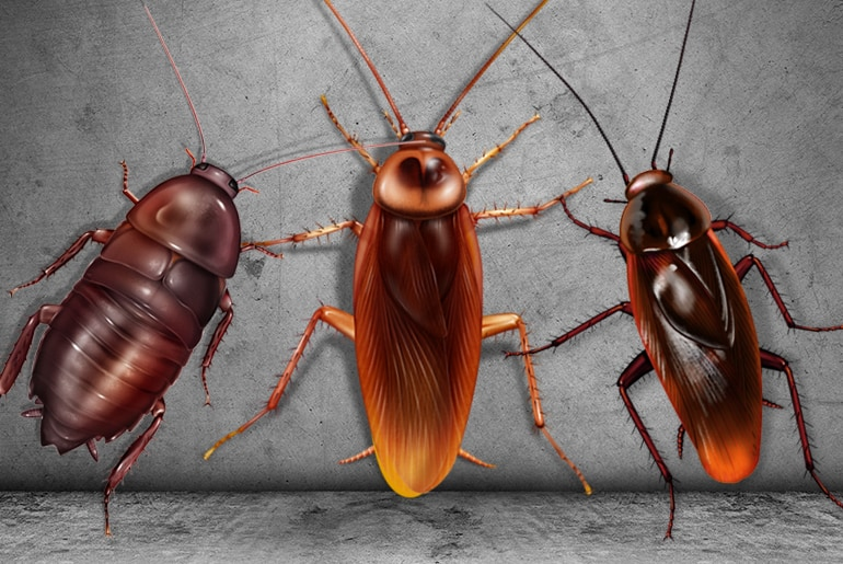 Cockroaches Vs. Beetles - Photo by cockroachfacts