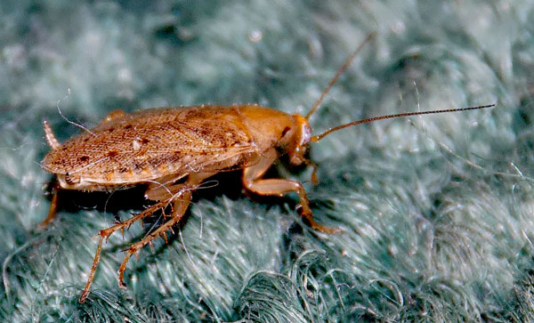 Cockroaches Vs. Wood Roaches - Photo by colonialpest