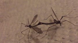 Do Mosquito Eaters Eat Mosquitoes?