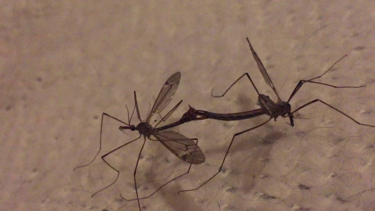 Do Mosquito Eaters Eat Mosquitoes