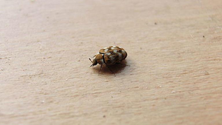 Does Baking Soda Kill Carpet Beetles