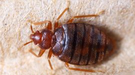 Does Lysol Kill Bed Bugs?