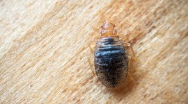 Does Peppermint Oil Repel Bed Bugs?