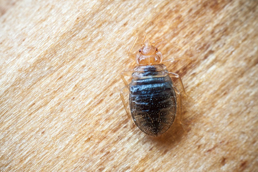 Does Peppermint Oil Repel Bed Bugs - Photo by healingsolutions