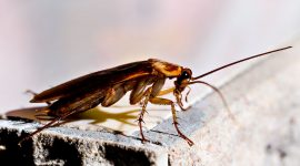 Does Peppermint Oil Repel Roaches?